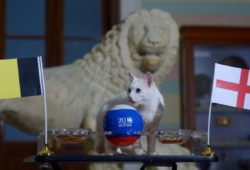 4.07655161 5589256 14.07.2018 Cat Achilles predicts Belgium's victory at the World Cup playoff soccer match for third place between Belgium and England, in St.Petersburg, Russia, July 14, 2018. Alexander Galperin / Sputnik  IBL